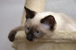 Характер тайской кошки